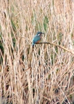 Female kingfisher (honestly)